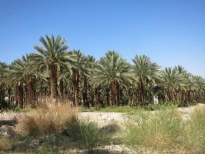 Плантация финиковых пальм в пустыне.